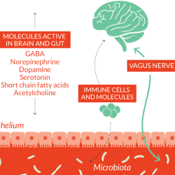 microbiota-gut-brain-connection